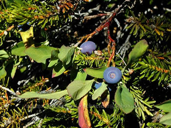 Huckleberries that tasted like apples. Mt. Hood Wilderness, OR.