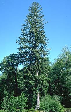 Sitka Spruce