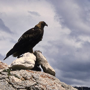 Golden Eagle. Yellowstone National Park.