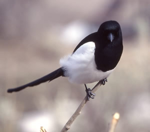 Magpie. Yellowstone National Park.